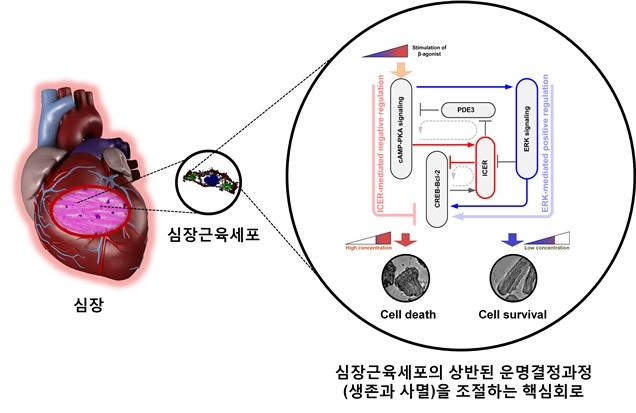 심장세포의 핵심 신호전달경로 스위치 규명 이미지2