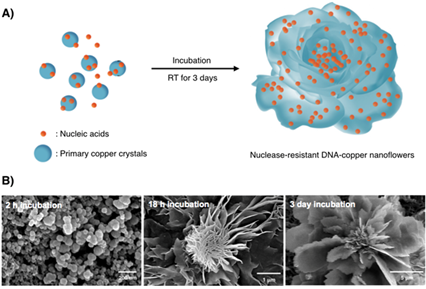Nuclease-Resistant Hybrid Nanoflowers 이미지1