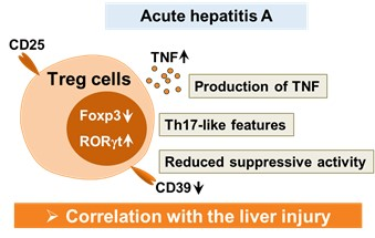 Cellular Mechanism for Severe Viral Hepatitis Identified 이미지2