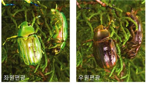 좌원편광 빛과 우원편광 빛에 노출된 C. gloriosa 풍뎅이의 사진