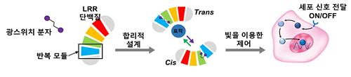 LRR 단백질 기반으로 합리적 설계를 통해 광스위치 단백질 개발 및 이를 이용한 세포 신호전달 조절