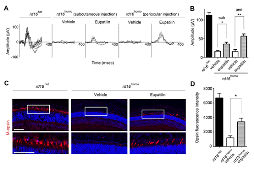 Figure 2. Eupatilin injection ameliorates M-opsin trafficking and electrophysiological response of cone photoreceptors in rd16 mice