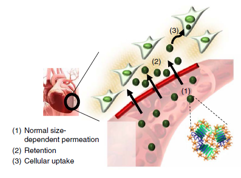 Figure 1. Schematic for the heart-targeting mechanism of TANNylated protein nanocomplexes: (1) size-dependent permeation, (2) phenolic (that is, TA), and (3) internalization by internalization by myobalsts