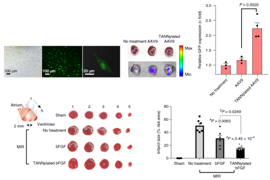 Figure 2. Effect of TA based protein complexes on cardiac cell transport efficiency and viral gene expression efficiency and therapeutic function in animal models with myocardial infarction