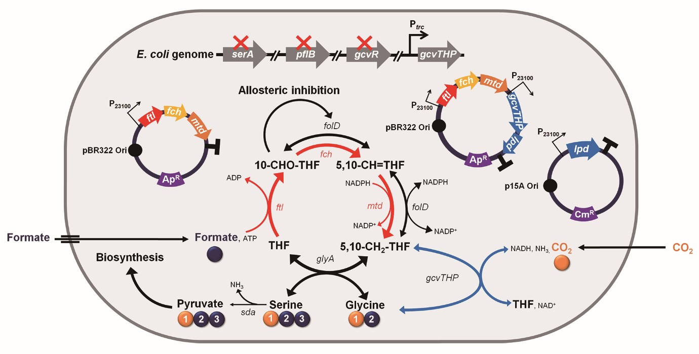 Engineered E. coli Using Formic Acid and CO2 As a C1-Refinery Platform Strain 이미지1