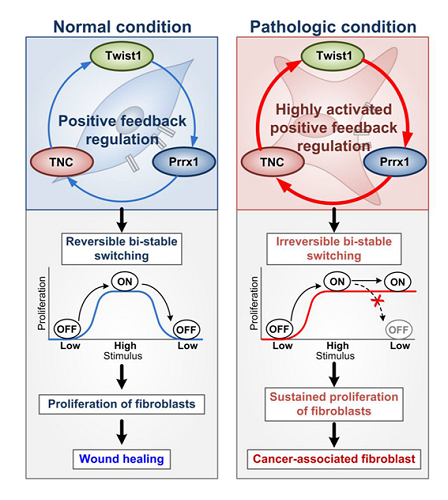 "Figure 2. Summary of the study. The Twist1-Prrx1-TNC positive feedback regulation provides clues for understanding the activation of fibroblasts during wound healing under normal conditions, as well as abnormally activated fibroblasts in pathological conditions such as cancerous and fibrotic diseases. Under normal conditions, the PFL acts as a reversible bistable switch by which the activation of fibroblasts is ""ON"