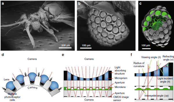 Figure 1. Natural Xenos peckii eye and the biological inspiration for the ultrathin digital camera (Light: Science & Applications 2018)