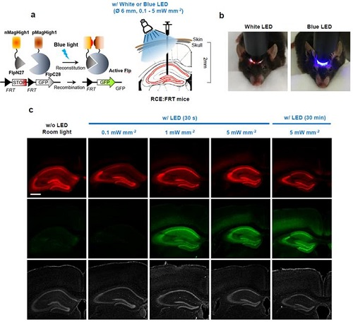 PA-Flp 단백질 작동원리 및 발현