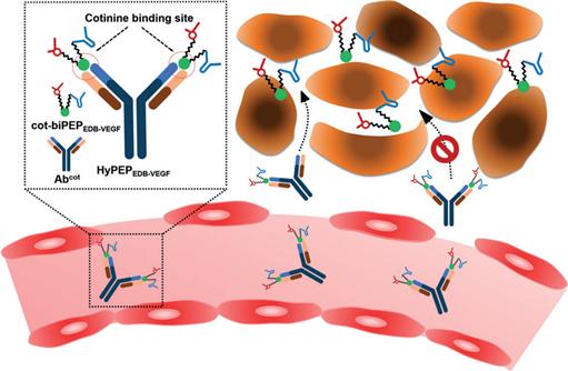 그림1. 두 가지 표적에 특이적인 펩타이드-항체 복합체의 모식도