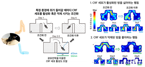 광유전학을 통한 시상하부 CRF 세포의 활성도 인위적 조절