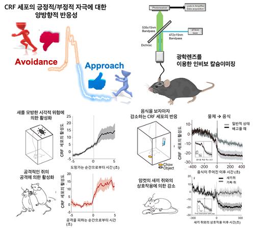 시상하부 CRF 세포의 양방향성의 활성도와 인비보 칼슘이미징모식도 (위)  시각적 위협, 공격성이 있는 쥐로부터의 위협 (나쁜 자극)과 음식, 새끼쥐 (좋은 자극)에 이의한 시상하부 CRF 세포의 활성화 혹은 억제에 대한 예시. (아래)