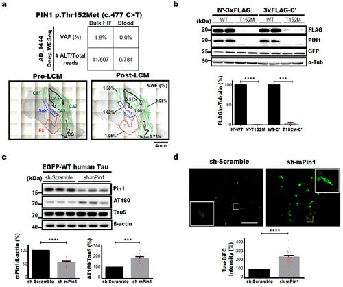 PIN1 유전자에 발생한 병원성 뇌 체성유전변이와 신경섬유다발 형성과의 관계 규명