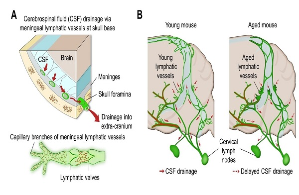 Newly Identified Meningeal Lymphatic Vessels Answers the Key Questions on Brain Clearance 이미지1
