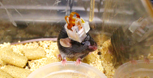 디바이스가 이식된 쥐의 사진