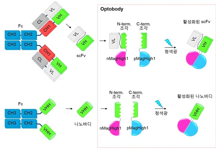 항체 조각과 Optobody 모식도