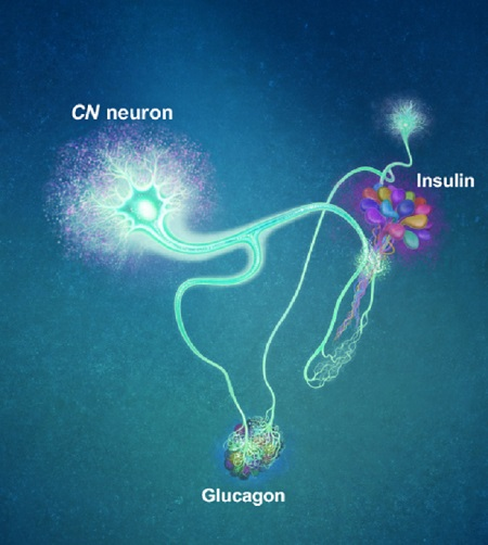 (Figure: A single glucose-excited CN neuron extends bifurcated axonal branches, one of which innervates insulin producing cells and stimulates their activity an the other axonal branch projects to glucagon producing cells and inhibits their activity.)