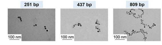 Nanoparticle Cluster Manufacturing Technique Using DNA Binding Protein Developed 이미지2